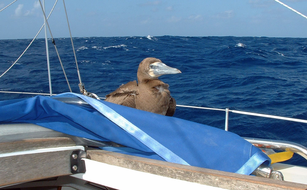 A Brown Booby on the coachroof of S/Y Alacazam