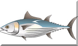 Sketch of a tuna