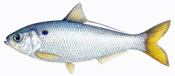 a threadfin herring