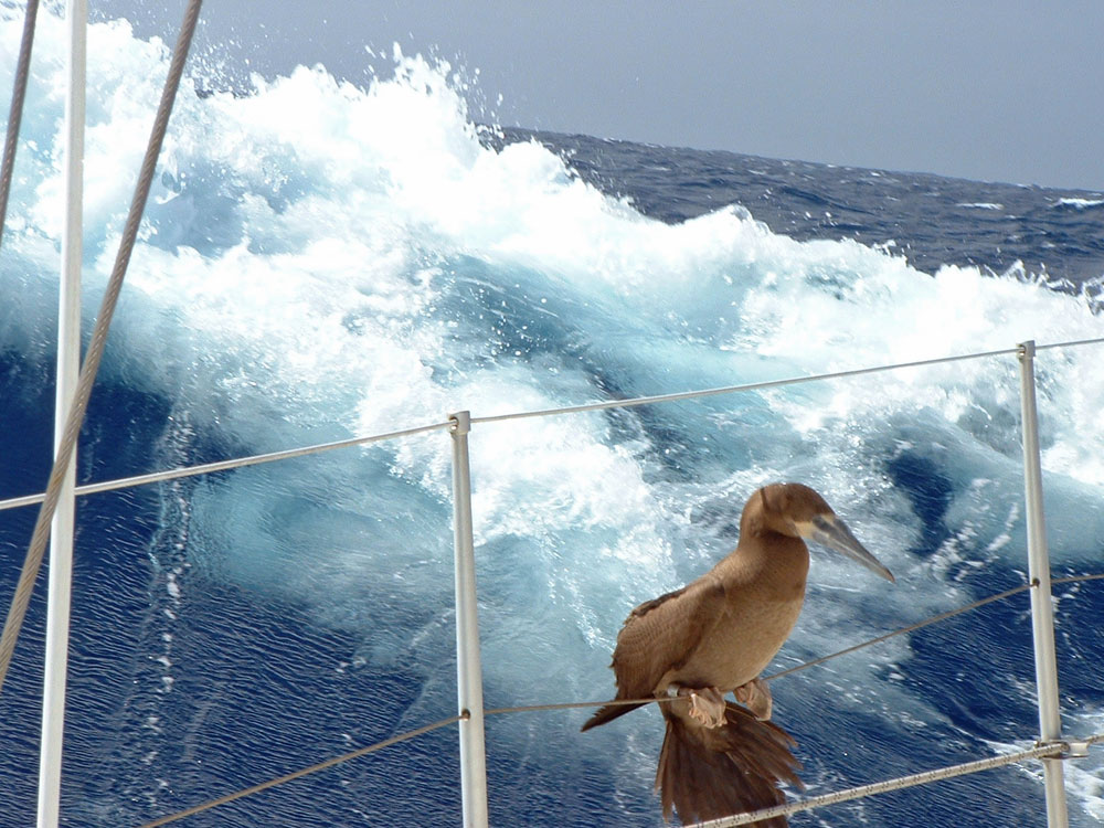 A Brown Booby lands on S?Y Alacazam in Mid-Atlantic