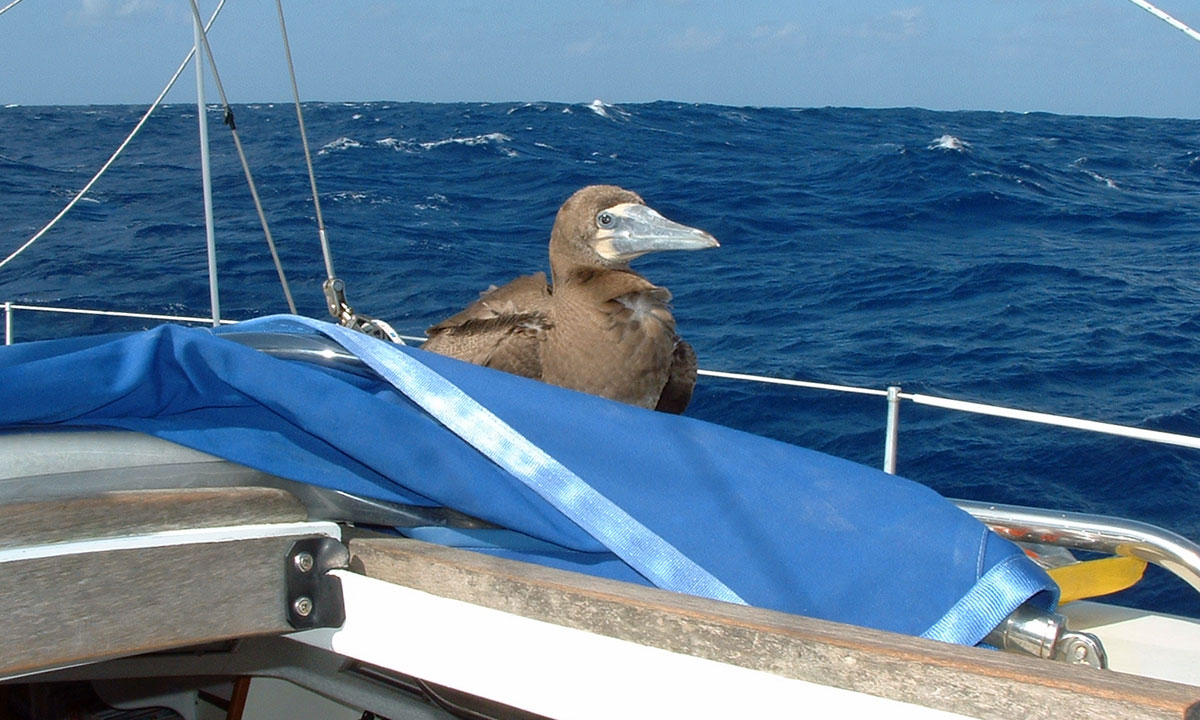 A Brown Booby which came aboard Alacazam some 200 miles west of the Cabo Verdes