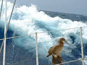 brown booby resting on sailboat in mid atlantic